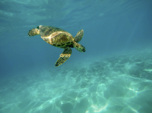 Hawaii Retreat turtle